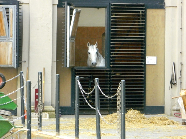 Lipizzan Stallion In Stable