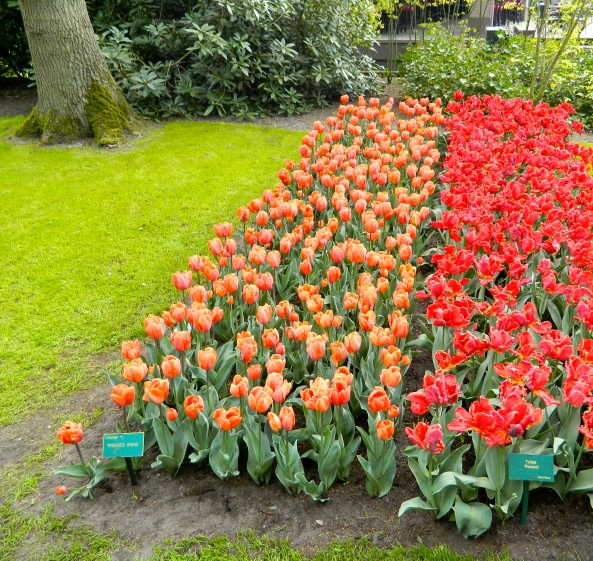 The First Bed Of Tulips I Saw At The Gardens